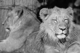 Fotobehang - Zwart wit - Twee Leeuwen - Fotobehang Zwart wit - Twee Leeuwen