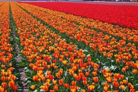 Fotobehang - Bloemen - Field with orange/red tulips
