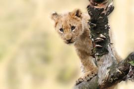 Fotobehang - Leeuw - Lion cub
