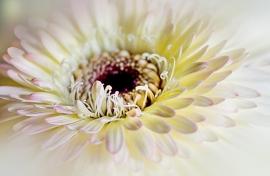 Fotobehang - Macrofotografie - Chrysant
