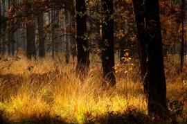 Fotobehang - Bomen & Bos - Herfstbos Goud - Autumn Wood Golden