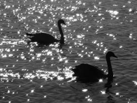 Fotobehang - Zwart wit - Zwanen