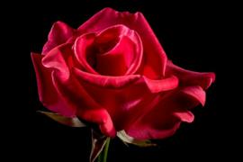 Fotobehang - Bloemen - Rode roos II - Red rose II