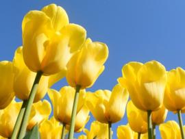 Fotobehang Tulpen - Fotobehang Gele tulpen