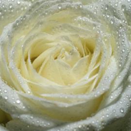 Fotobehang - Bloemen - witte Roos - White rose