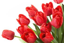 Fotobehang Tulpen  - Fotobehang Tulpen ( rood )