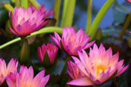 Fotobehang  Waterlelies - Fotobehang waterlelies