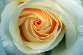 Fotobehang  Gele roos - Yellow rose II