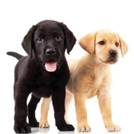 Fotobehang - Labradors - Dogs labradors
