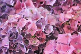 Fotobehang  Woonkamer - Hortensia paars