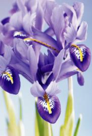 Fotobehang - Bloemen - Iris