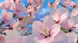 Fotobehang  Sakura blossom