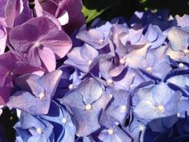 Fotobehang  Woonkamer -Hortensia blauw/violet