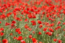 Fotobehang  Klaprozen - Poppies