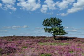 Fotobehang - Heide Nederland