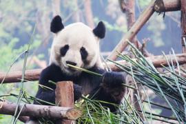 Fotobehang - Panda II