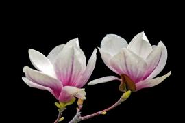 Fotobehang - Bloemen - Magnolia