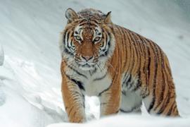Fotobehang Tijger - Fotobehang Siberische tijger