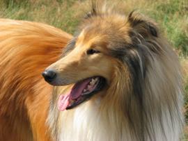 Fotobehang - Schotse collie / Lassie