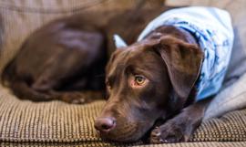 Fotobehang - Bruine labrador