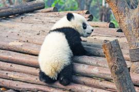 Fotobehang - Panda