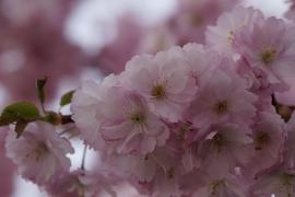 Fotobehang - Bloesem 1 - Blossom 1