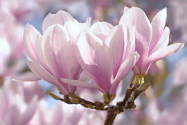 Fotobehang  Magnolia II