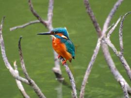 Fotobehang - IJsvogel
