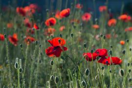 Fotobehang  Klaprozen - Poppies II