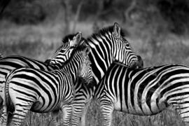 Fotobehang - Zwart-Wit - Zebra's