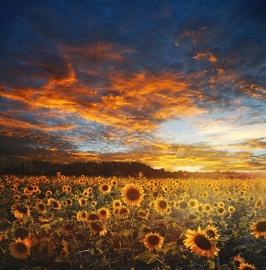 Fotobehang - Bloemen - Zonnenbloemenveld