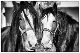 Fotobehang - Zwart wit - Paarden 3