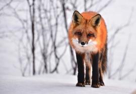 Fotobehang - Vos / Fox