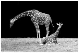 Fotobehang - Zwart-Wit -  Giraffe
