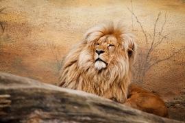 Fotobehang Leeuw - Fotobehang Leeuw - Lion