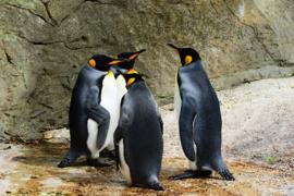 Fotobehang - Pinguins ( Koning )