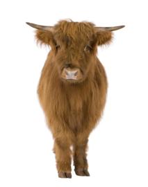 Schotse hooglander XL