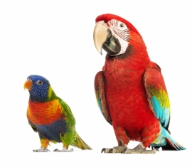 Wall decal set of Parrots