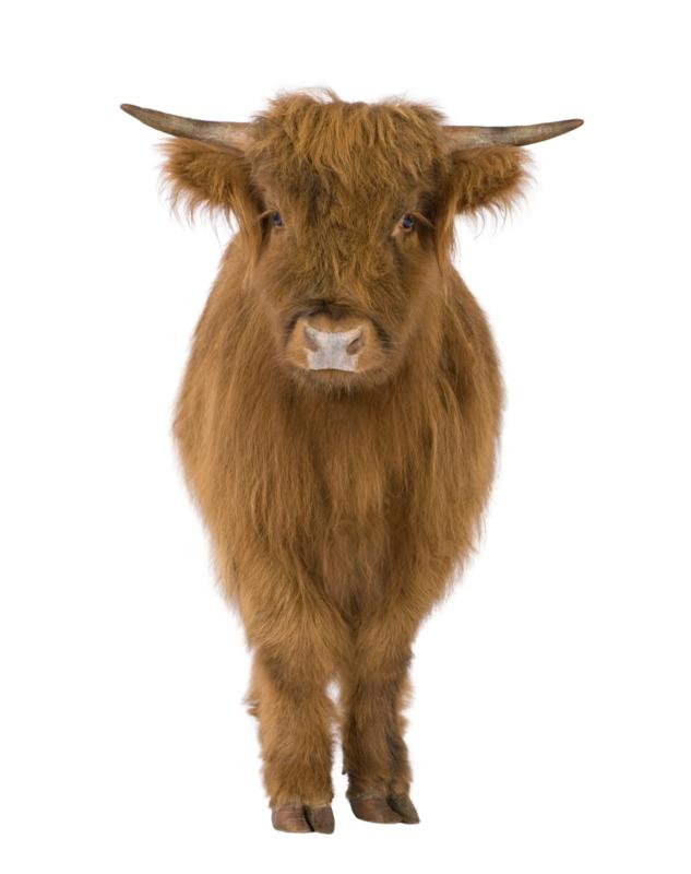 Schotse hooglander XS