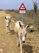 30 driehoek en onderborden voor de Donkey Sanctuary in Bonaire