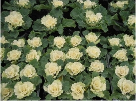 Brassica gekarteldbladig - EKA009