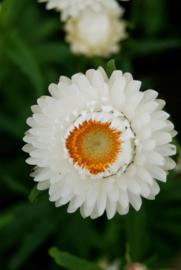 Helichrysum - EHA300