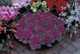 Brassica gekruldbladig - EKA004