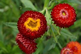 Helichrysum - EHA410