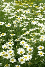 Chrysanthemum - MCA532