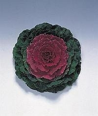 Brassica Sierkool - EKA040