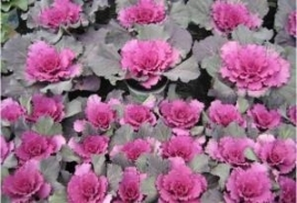 Brassica gekarteldbladig - EKA007