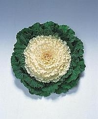 Brassica Sierkool - EKA050