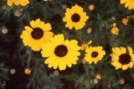 Chrysanthemum segetum - ECA410