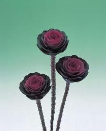 Brassica Sierkool (snij) - EKA016